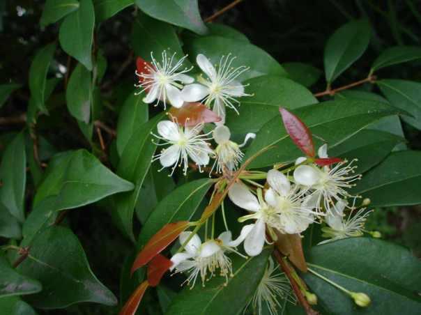 Aceite de copaiba: milenaria medicina amazónica